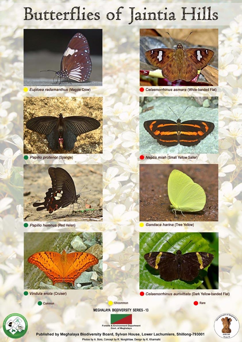 Butterfly-Jaintia