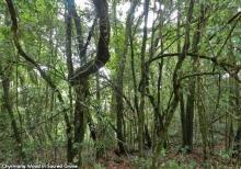Chyrmang wood